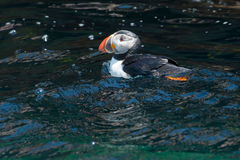 Atlantic Puffin Stock Photography