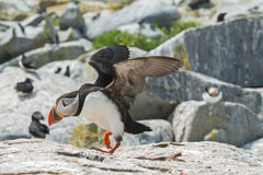 Atlantic Puffin Taking Flight Royalty Free Stock Photos