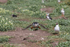 Atlantic puffin taking off Stock Images