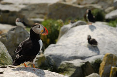 An Atlantic puffin watching other puffins Stock Image