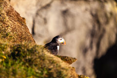 Atlantic puffin in Western Iceland Stock Photos