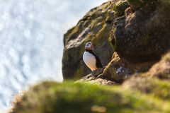 Atlantic puffin in Western Iceland Royalty Free Stock Photo