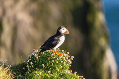 Atlantic puffin in Western Iceland Stock Photo