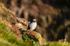 Atlantic puffin in Western Iceland Stock Image
