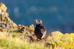 Atlantic puffin in Western Iceland Royalty Free Stock Photos