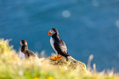Atlantic puffin in Western Iceland Royalty Free Stock Images