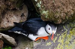 Atlantic Puffin in Westfjord, Iceland royalty free stock photos