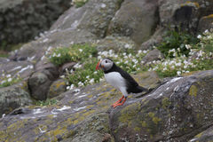 Atlantic puffin & x28;Fratercula arctica& x29; standing on a rock. Isle of May, Scotland Stock Photos
