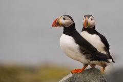 Atlantic Puffins Royalty Free Stock Photos