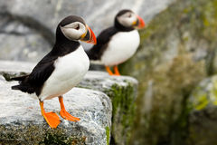 Atlantic Puffins Royalty Free Stock Image