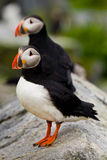 Atlantic Puffins Stock Photos