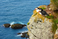 Atlantic Puffins Royalty Free Stock Photography