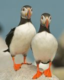 Atlantic Puffins. A pair of Atlantic puffins in Maine Stock Images