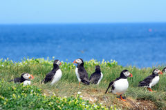 Atlantic puffins, Farne Islands Nature Reserve, England Royalty Free Stock Image