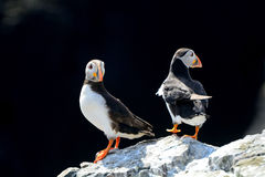 Atlantic puffins, Farne Islands Nature Reserve, England Stock Photos