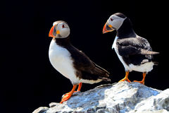 Atlantic puffins, Farne Islands Nature Reserve, England Royalty Free Stock Photos