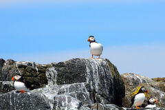 Atlantic puffins, Farne Islands Nature Reserve, England Royalty Free Stock Images