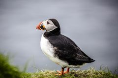 Atlantic puffins on the Faroe Islands royalty free stock image