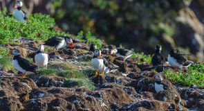 Atlantic puffins Fratercula arctica on bird island in Elliston, Newfoundland. Atlantic puffins Fratercula arcticamating pair, one bird bills her mate. A royalty free stock photography