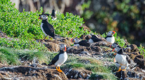Atlantic puffins Fratercula arctica on bird island in Elliston, Newfoundland. Atlantic puffins Fratercula arcticamating pair, one bird bills her mate. A stock photography