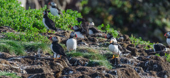 Atlantic puffins Fratercula arctica on bird island in Elliston, Newfoundland. Atlantic puffins Fratercula arcticamating pair, one bird bills her mate. A royalty free stock photo
