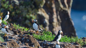 Atlantic puffins Fratercula arctica on bird island in Elliston, Newfoundland. Atlantic puffins Fratercula arcticamating pair, one bird bills her mate. A royalty free stock images