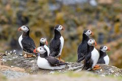 Atlantic Puffins Fratercula arctica, standing on the cliff at stock photography