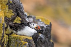 Atlantic Puffins Fratercula arctica, standing on the cliff at Isle of May. Atlantic Puffins Fratercula arctica, on cliff's edge at Isle of May, Scotland royalty free stock photos