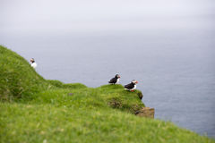 Atlantic puffins, Fratercula arctica in its colony Royalty Free Stock Photos