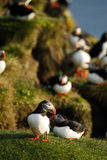 Atlantic puffins Fratercula arctica in Raudinupur, Iceland. Atlantic puffins Fratercula arctica in Raudinupur area, northeast of Iceland Stock Photos