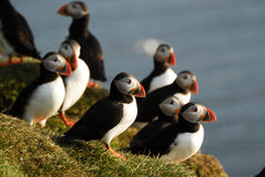 Atlantic puffins Fratercula arctica in Raudinupur, Iceland Royalty Free Stock Photo