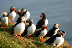 Atlantic puffins Fratercula arctica in Raudinupur, Iceland. Atlantic puffins Fratercula arctica in Raudinupur area, northeast of Iceland Royalty Free Stock Photos