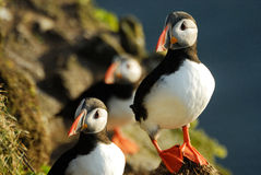 Atlantic puffins Fratercula arctica in Raudinupur, Iceland. Atlantic puffins Fratercula arctica in Raudinupur area, northeast of Iceland Stock Images