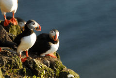 Atlantic puffins Fratercula arctica in Raudinupur, Iceland Royalty Free Stock Image