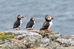 Atlantic Puffins Fratercula arctica, standing on the cliff at royalty free stock image