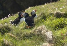 Atlantic puffins on grassy clifftop. Atlantic puffins congregating on a grassy hilltop at Sumburgh Head in the Shetland Islands Stock Image