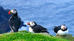 The Atlantic Puffins Group. Wallpaper.