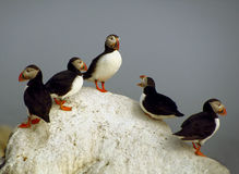 Atlantic Puffins - Machias Seal Island Royalty Free Stock Photos