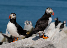 Atlantic Puffins in Maine Royalty Free Stock Photography