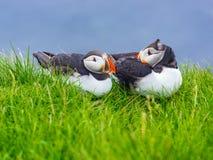 Atlantic Puffins resting on green grass at Latrabjarg Cliff Royalty Free Stock Photos