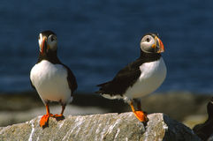 Atlantic Puffins on Rock Royalty Free Stock Photo
