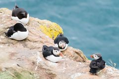 Atlantic Puffins standing on the cliffs of Skomer Island Pembrokeshire West Wales UK.  Royalty Free Stock Photo