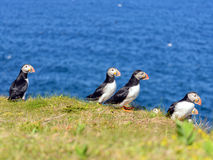 Atlantic puffins Stock Image