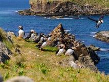 Atlantic puffins Royalty Free Stock Image