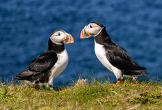 Atlantic puffins. In sunny day Stock Photos