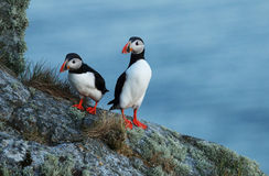 Atlantic puffins. Two Atlantic puffins on the island of Runde, Norway Stock Image
