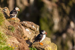 Atlantic puffins in Western Iceland Royalty Free Stock Photo