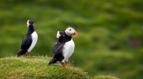 Atlantic Puffins at Westman Islands, Iceland Stock Photos