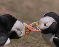 Atlantic Puffins wrestling stock photography