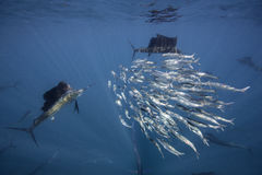 Atlantic sailfish feeding on sardines, Cancun Mexico. Royalty Free Stock Photo
